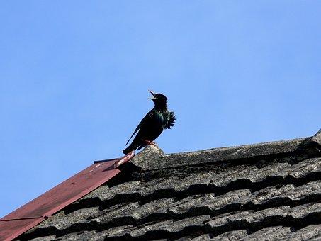Starling, Spring, Birds Singing, Wildlife, Black, Bird