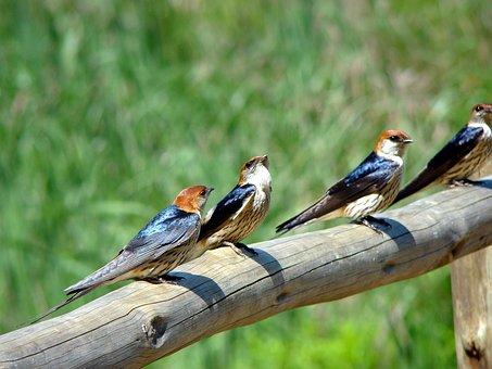 Swallow, Bird, Animal, Nature, Wing, Environment