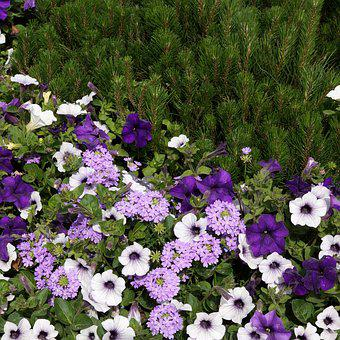 Summer Flowers, Lilac Flower, Petunia, Verbena