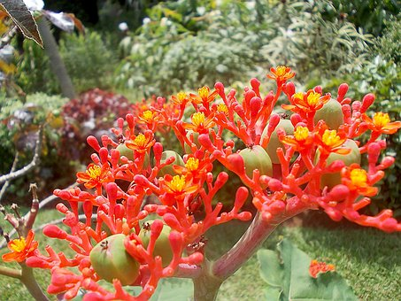 Jatropha, Flower, Exotic, Red, Yellow, Fruits, Sri