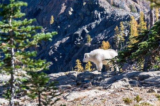 Mountain Goat, Goat, Mammal, Hoofed, Alpine, Mountain