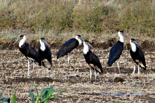 Woolly-necked Stork, Bishop Stork, White-necked Stork