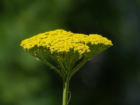 Fernleaf, Flower, Blossom, Bloom, Yellow