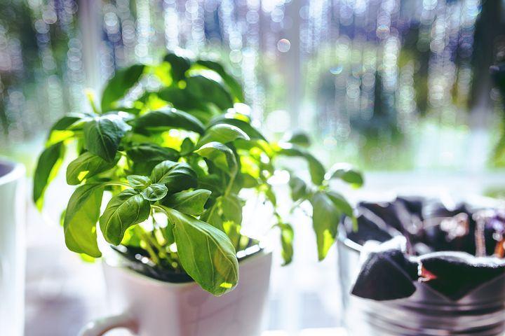Basil, Cup, Cooking, Spring, Green, Leaf, Leaves, Herbs