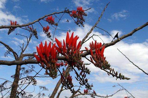 Coral Tree, Sunshine Tree, Flower, Scarlet Red