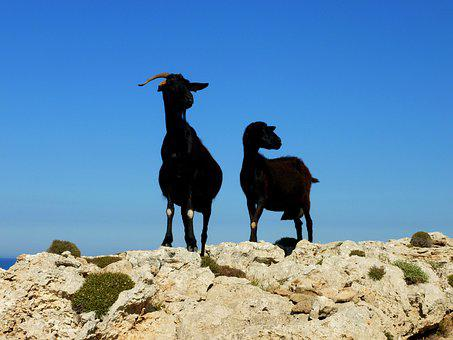 Billy Goat, Goat, Couple, Animals, Mammals, Menorca