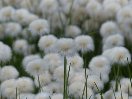 Scheuchzers Cottongrass, Eriophorum Scheuchzeri