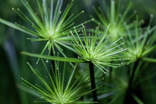 Cyperus, Green, Close, Flora, Plant, Green Plant