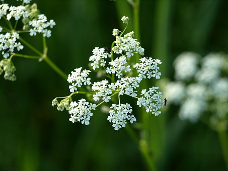Yarrow, Flower, White, Pointed Flower