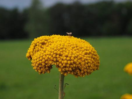 Flower, Yellow, Yarrow, Blossom, Bloom, Fly, Nature