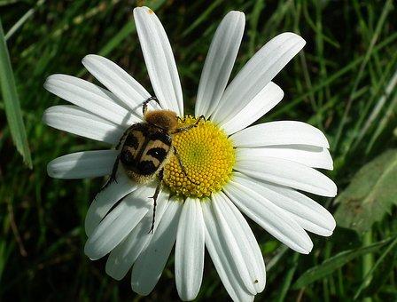 Daisy, Beetle, Bug, Spring, Garden, Petal, Blossom