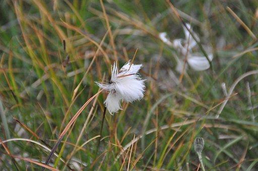 Cottongrass, Iceland, Scheuchzers Cottongrass, Grass