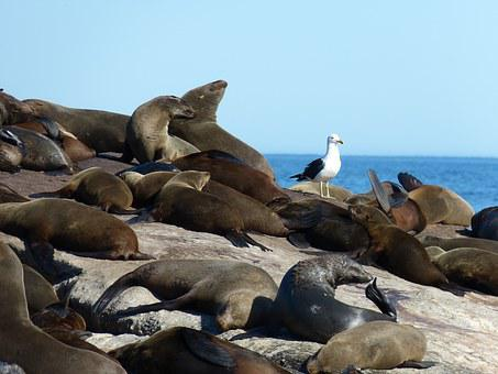 South Africa, Robbe, Seals, Mammal, Hout Bay