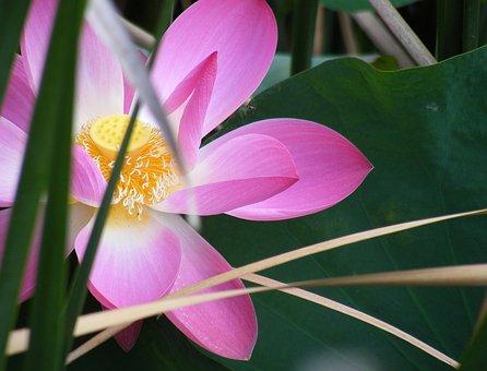 Dark, Green, Lake, Leaf, Lotus, Papyrus, Pink, Pollen