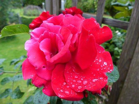 Rose, Red, Moist, Dew, Drip, Romantic, Blossom, Bloom