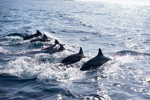 Philippines, Dolphin, Nature, Ocean, Wildlife, Mammal