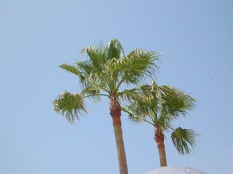 Palma, Palm Trees, Palm, Foliage, Papyrus As, Tree