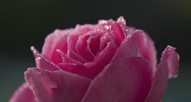 Rose, Dew, Pink, Red, Beaded, Dewdrop, Flower, Close
