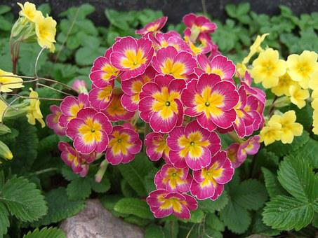 Primula, Spring, Flowers, Pink Petals, Yellow Cente