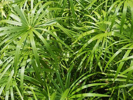 Papyrus, Plant Green, Leaves, River