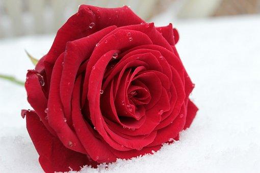 Rose, Red, Flower, Blossom, Bloom, Rose Bloom