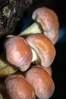 Mushroom, Autumn, Hypholoma Sublateritium, Schwefelkopf