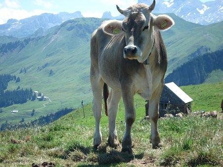 Beef, Alp, Wide, Switzerland, Schwyz, Fronalpstock