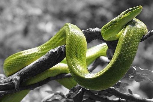 Snake, Reptile, Grass Snake, Scale, Color Dash