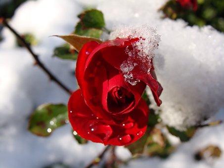 Red Rose, Snow, Drops Of Water, Flower, Flower Bud