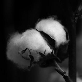 Cotton, Plant, Capsule, Soft, Black And White, Engine