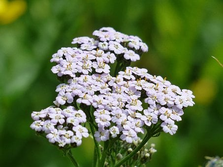 Yarrow, Blueme, Blossom, Bloom, Light Purple, Violet