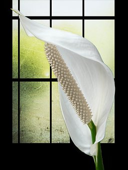 Spathiphyllum, Flower, White, Plant, Filigree