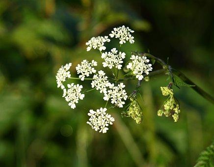 Yarrow, Flower, Pointed Flower, Wild Flowers
