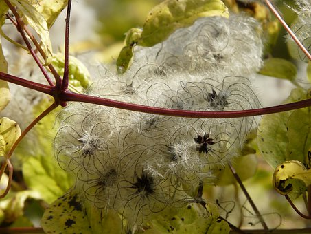 Clematis Vitalba, Fruits, White, Woolly, Clematis