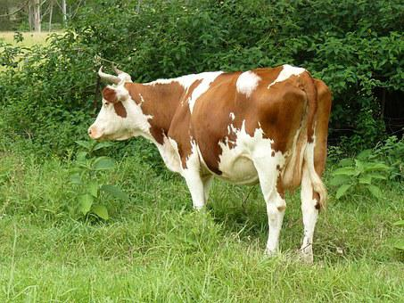Cow, Farm, Animal, Dairy, Cattle, Mammal, White, Milk