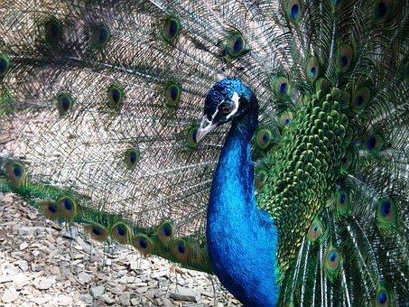 Bird, Peacock, Feather, Animal, Blue, Iridescent