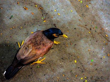 Mynah Bird, Myna Bird, Starling, Bird, Passerine Birds