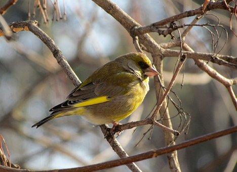 Bird, Periwinkle, Passerine