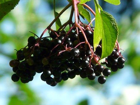 Black Elderberry, Sambucus Nigra, Holder Bush, Holler