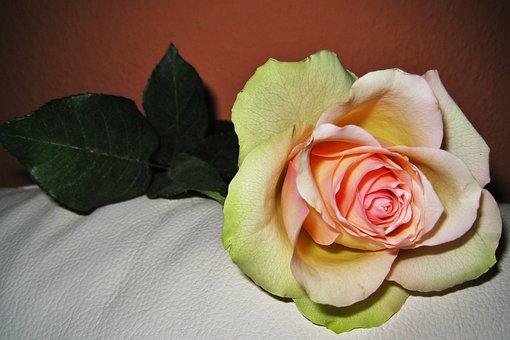 Rose, Valentine's Day, The Love Flower, Blossom, Bloom
