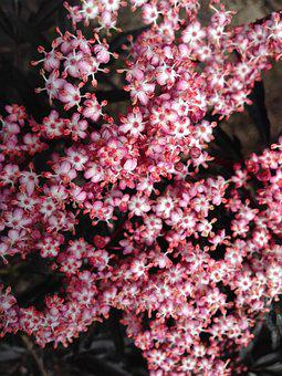 Tiny Flowers, Pink Flowers, Elderberry, Blossoms