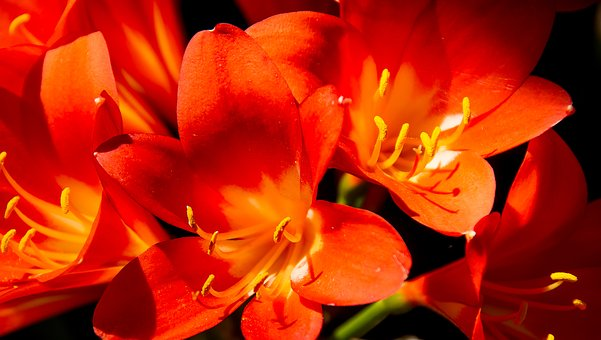 Clivia, Flower, Bloom, Orange, Bright, Garden, Spring