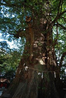 Wood, Camphor Tree, Sacred Tree, Shrine