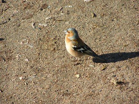 Chaffinch, Bird, Passerine, Finch, Common Chaffinch
