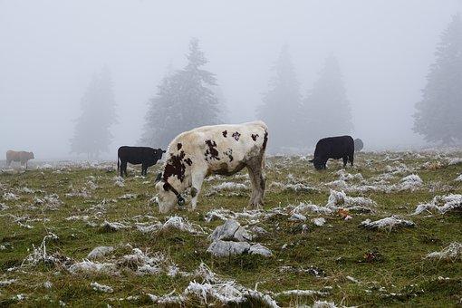 Cow, Pasture, Winter, Creux Du Van, Animals, Cattle