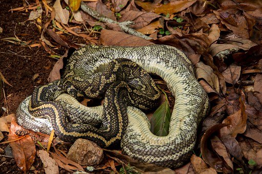 Carpet Python, Dead, Snake, Coiled, Leaves, Black