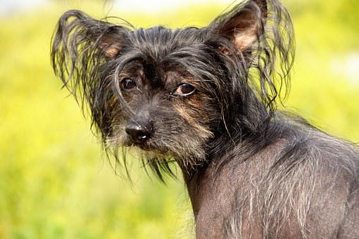 Dog, Chinese Crested Dog, Hairless Dog