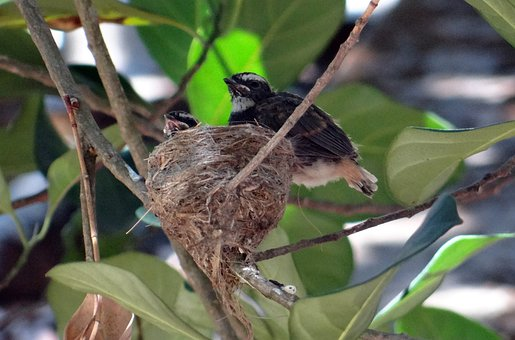 Chicks, Fledglings, White-throated Fantail, Flycatcher