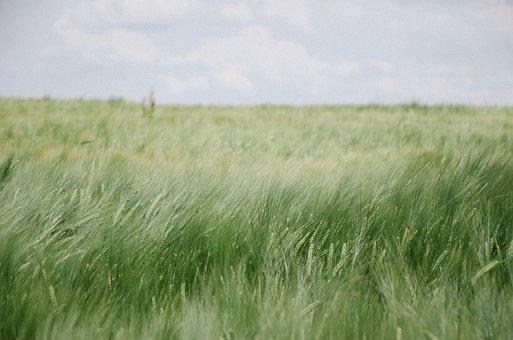 Field, Grass, Sky, Nature, Earth, Summer, Green, Meadow