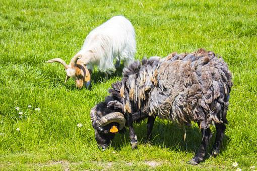 Rams, Kennel, Village, Grass, Hooves, Poland, Nature